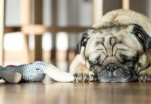 cane carlino che dorme