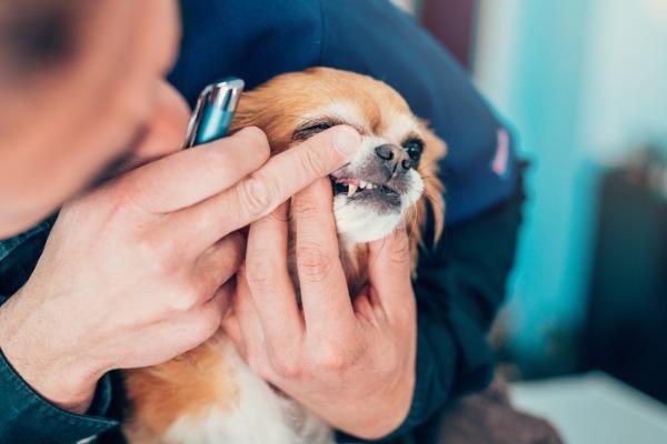 Perdita dei denti del cane (o dislocazione): cosa sapere?