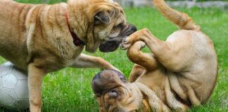Corteggiamento canino: Fido è in amore oppure no?