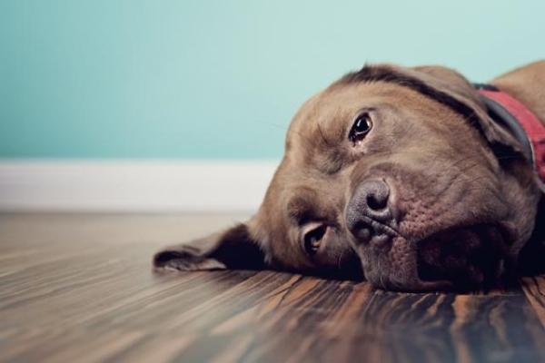 ernia perineale del cane