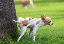 cane fa pipì su albero