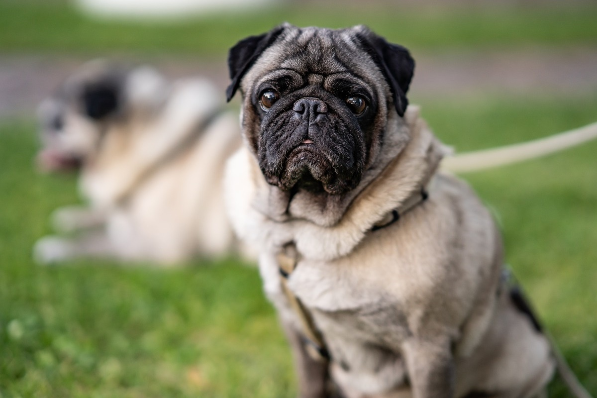 cane di razza carlino