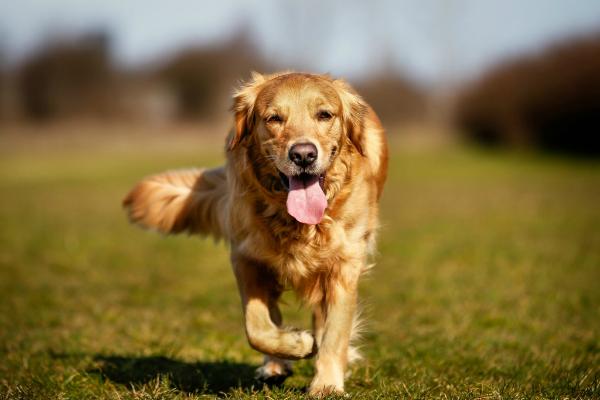I cani possono mangiare i germogli di bambù?