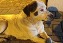 il-cane-insegue-per-chilometri-lambulanza-che-trasporta-il-proprietario
