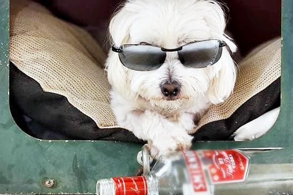 Il cane può bere la vodka? No, ed ecco spiegato perché