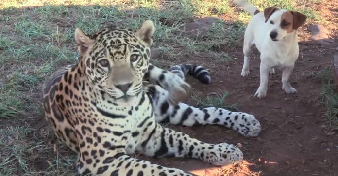 il-cane-viene-attaccato-dal-giaguaro-ma-non-e-quello-che-tutti-pensano