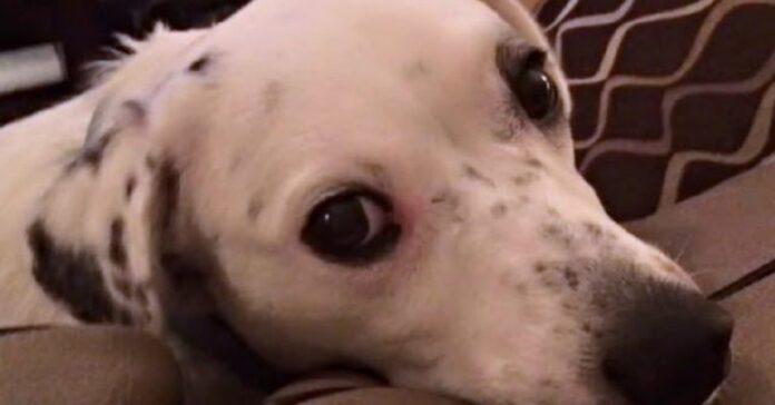 il-cane-viene-restituito-al-rifugio-perche-troppo-appiccicoso