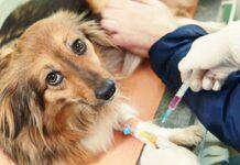 fare un prelievo di sangue al cane
