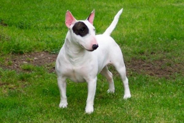 cane bull terrier