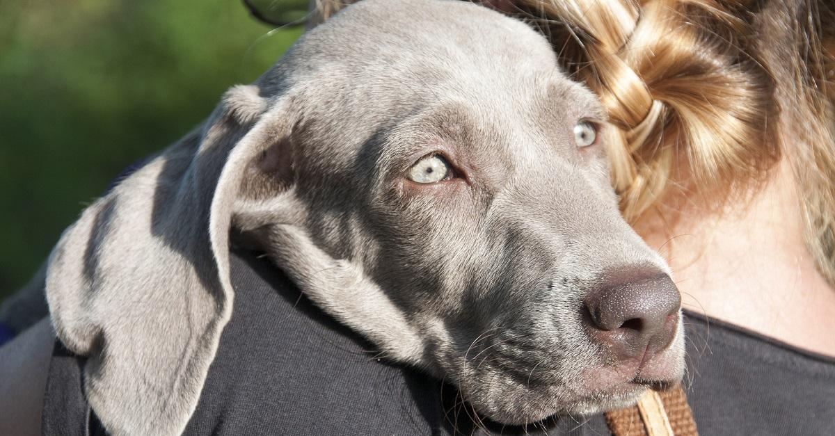 cane grigio con occhi azzurri