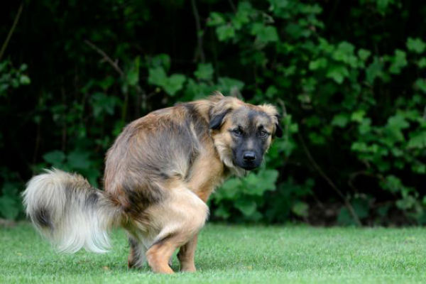 Lassativi naturali per il cane: quali sono e quando darglieli