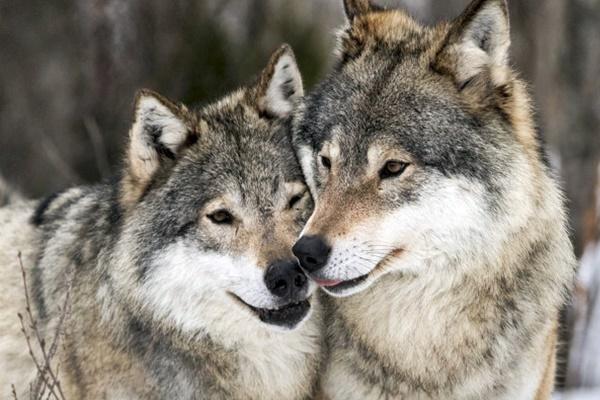 due lupi che si coccolano
