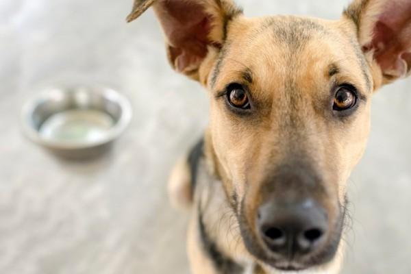 Linfangiesia del cane: tutto ciò che bisogna sapere