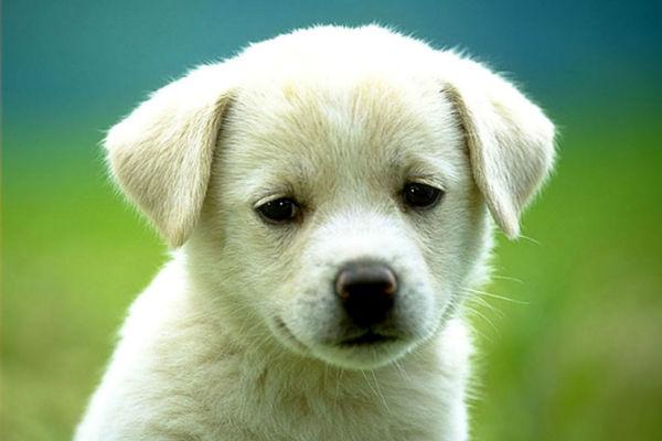 Masticazione distruttiva del cucciolo di cane: come fermarla