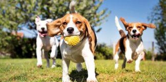 tre beagle al parco