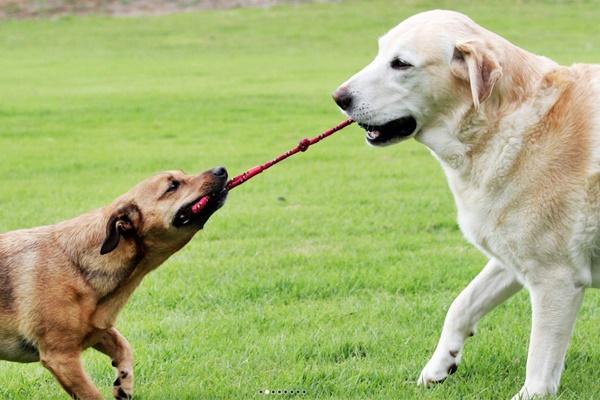 cani che tirano una corda