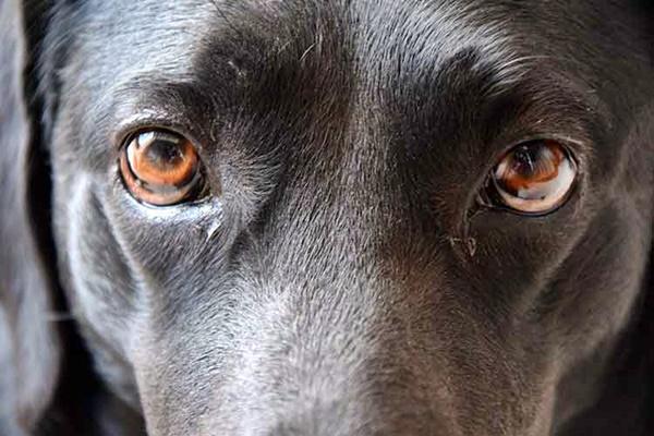 atrofia dell'iride del cane