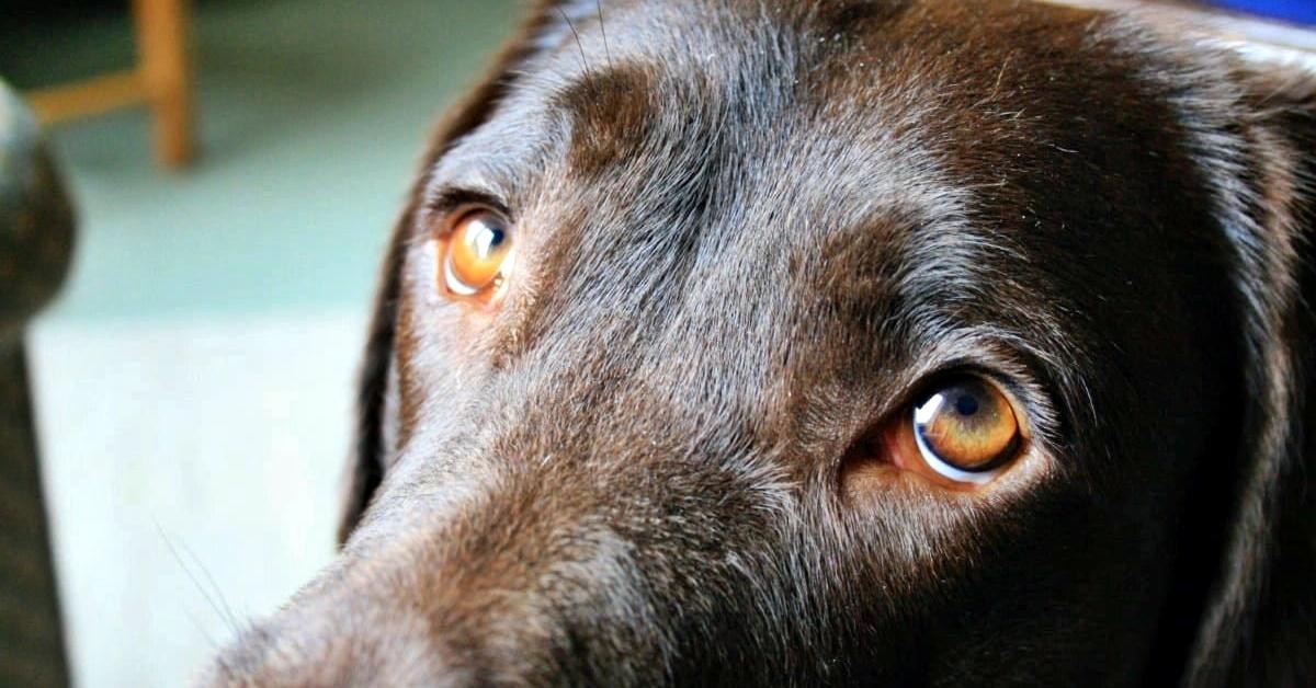 occhi belli del cane