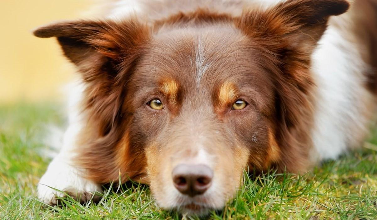 Pexion per cani: cos'è, a cosa serve, dosaggio e quando si usa