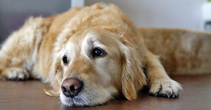 cane con il mantello color miele