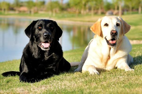 due labrador al parco