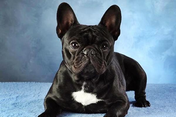 un bulldog francese nero