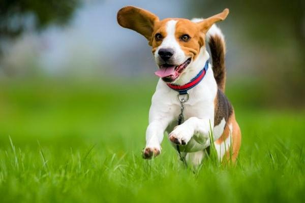 un beagle che corre sul prato