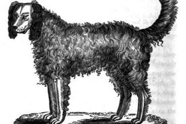 razza di cane alpine spaniel