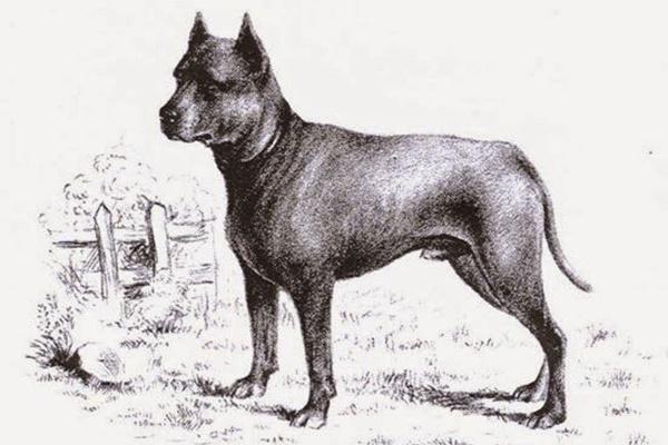 razza di cane blue paul terrier