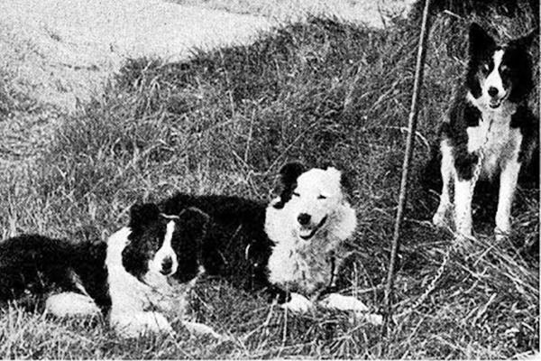 razza di cane cumberland sheepdog