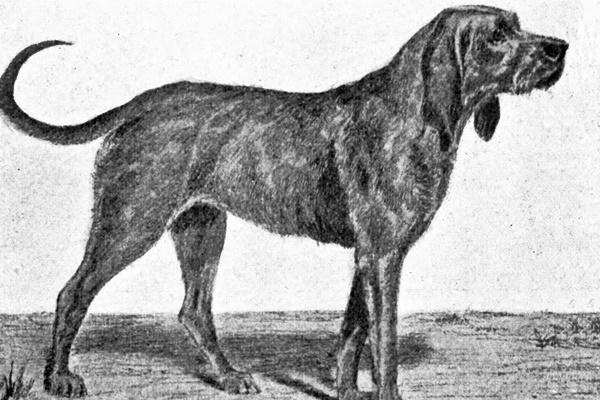 razza di cane Chien Gris de Saint-Louis