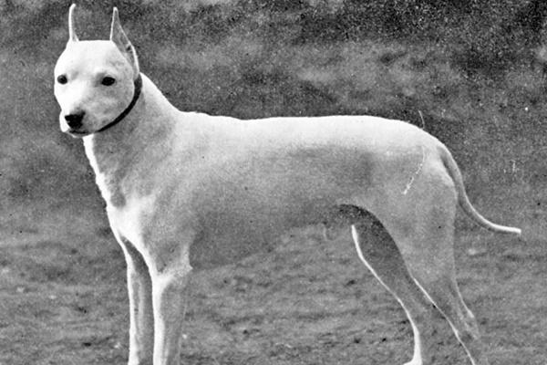 razza di cane english white terrier