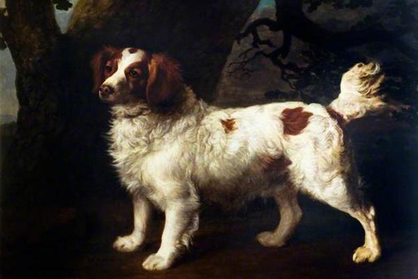razza di cane english water spaniel