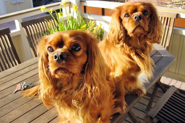 due cani uguali