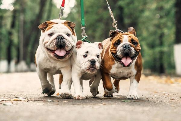 tre bulldog inglesi a passeggio