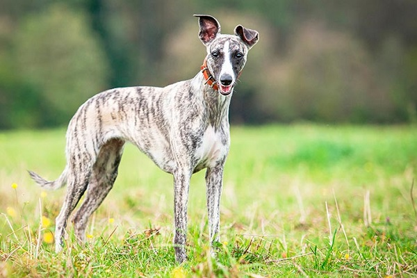 whippet cane