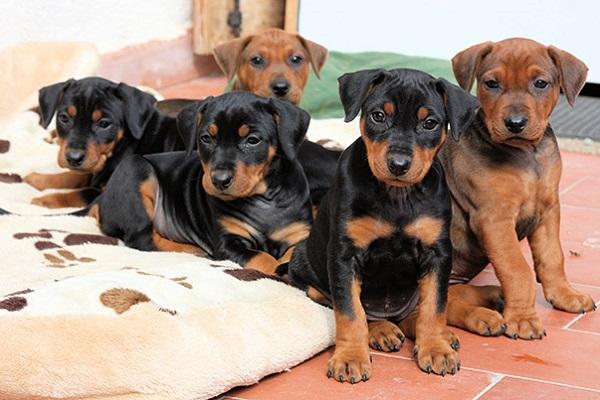 pinsher tedeschi cuccioli