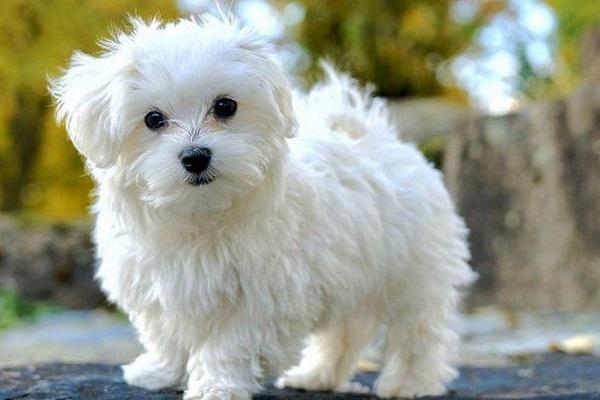 maltese cane