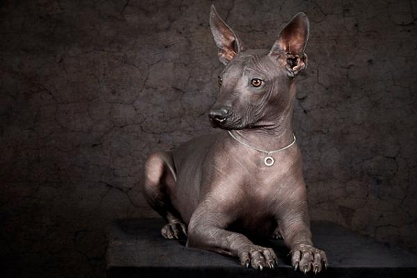 Xoloitzcuintle cane