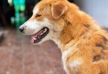 cane che perde chiazze di pelo
