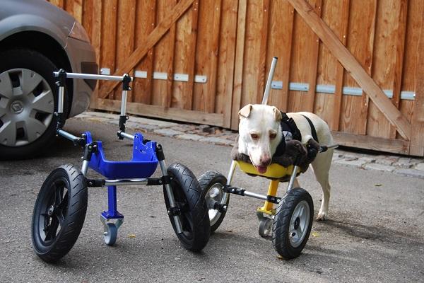 sedia a rotelle per cani