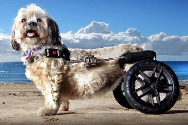 cane con sedia a rotelle