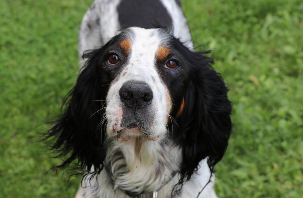 primo piano cane razza setter inglese