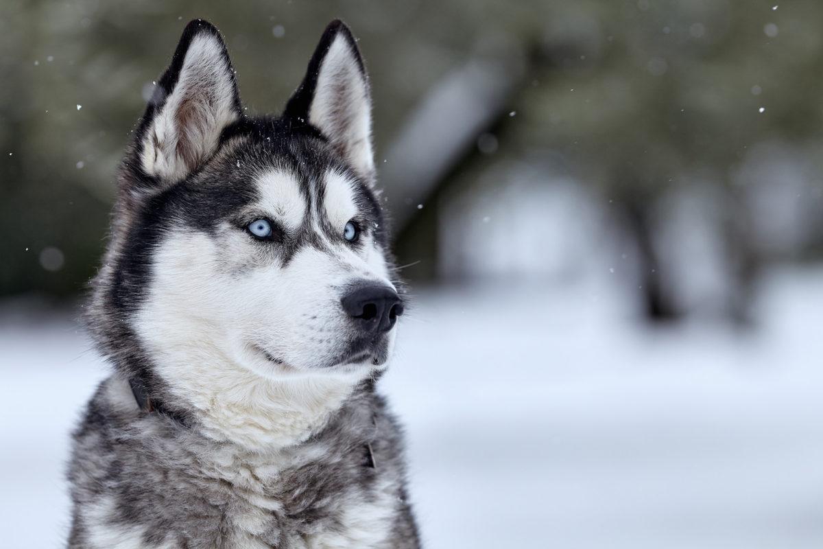primo piano di cane Siberian Husky