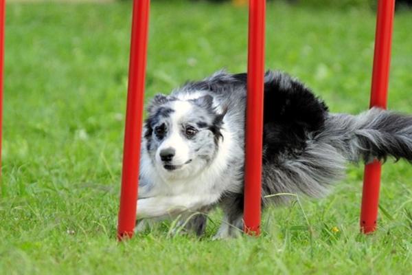 come insegnare lo slalom al cane