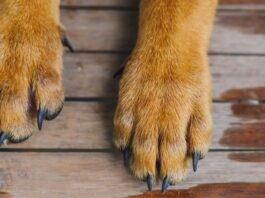 speroni dei cani