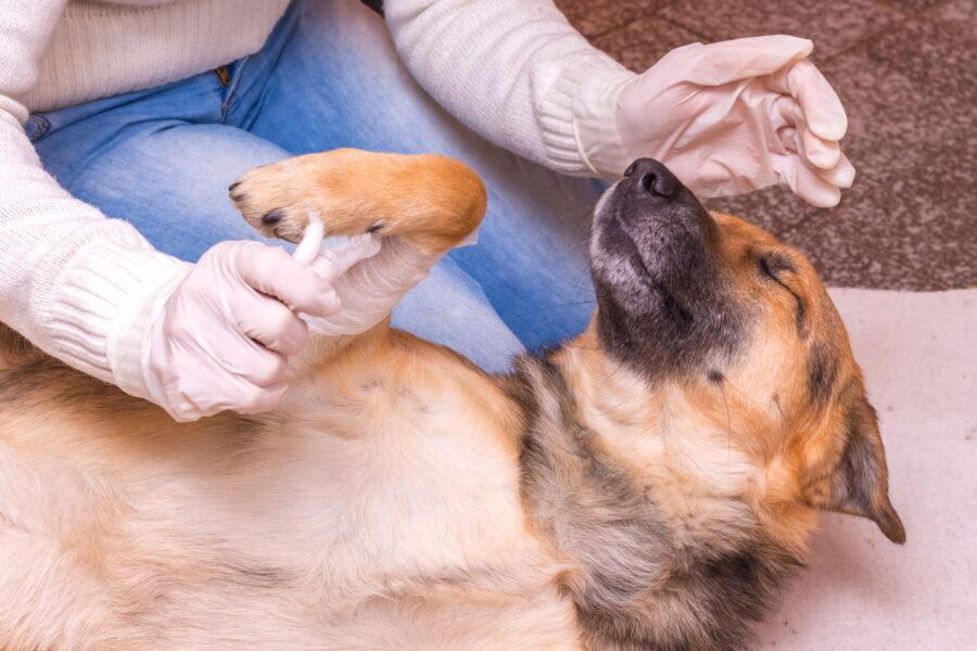 cane con dolore alla zampa