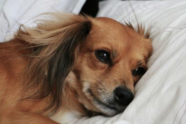 Come si può trasportare un cane ferito (in modo sicuro)?