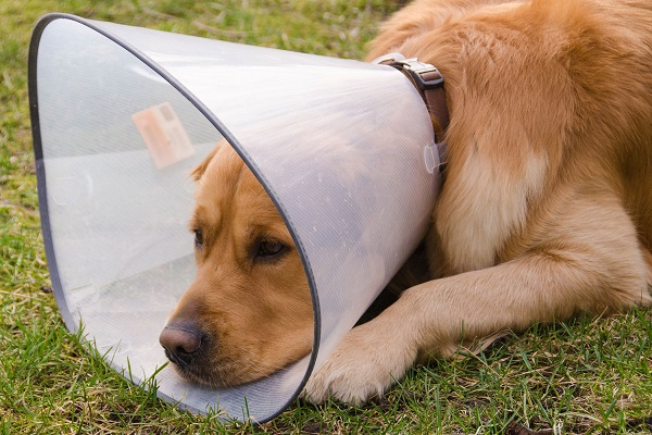 cane con collare elisabetta