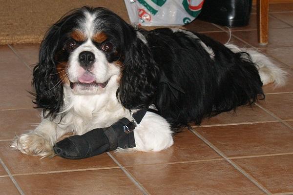 cane con zampa fasciata
